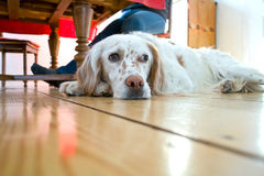 Dog lying at the wooden floor. In the dining room Royalty Free Stock Photos