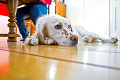 Dog lying at the wooden floor. In the dining room Royalty Free Stock Images