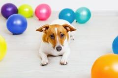 Dog lying on a wooden floor with rainbow balloons. Cute jack russell dog lying on a wooden floor with rainbow balloons royalty free stock photo