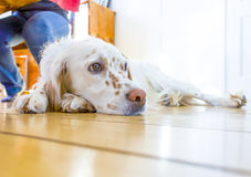 Dog lying at the wooden floor under a table Royalty Free Stock Photo