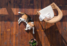 Dog lying on wooden terrace. Rattan chair and flower pot. Stock Images