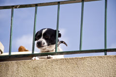 Dog on madeira Stock Photography
