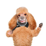 Dog with magnifying glass. Smile. Royalty Free Stock Image