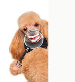 Dog with magnifying glass. Smile. Stock Images