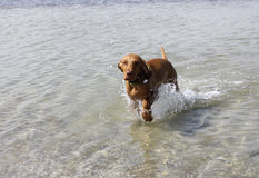 Dog magyar vizsla. Training on the water of a hunting dog magyar vizsla Stock Photography