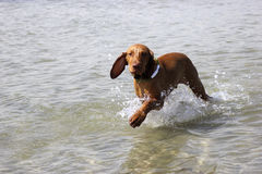 Dog magyar vizsla. Training on the water of a hunting dog magyar vizsla Stock Images
