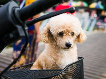 Dog make sad face and looking for owner. Little brown dog make sad face and looking for owner Stock Images