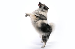 Dog makes male and dance. A funny and sassy dog keeshond makes male and dance royalty free stock photography