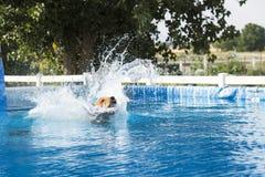 Dog making a big splash. Jumping in pool stock photo
