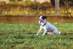 Dog Making Face While on Green Grass Field during Daytime Royalty Free Stock Photography
