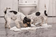 Dog making mess - chaos jack russell terrier in the bathroom. Two dogs making mess - chaos jack russell terrier in the bathroom royalty free stock image