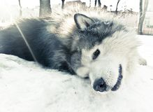 A dog of malamute breed lying on the snow