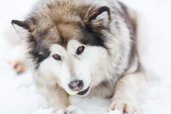 The dog of malamute Royalty Free Stock Images
