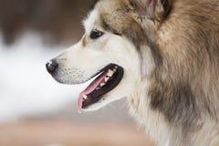The dog of malamute Royalty Free Stock Photo