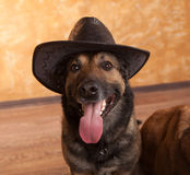 Dog malinois in the hat Stock Images