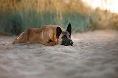 Dog Malinois lies on the sand Stock Photos