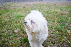 Dog. Maltese on the grass Royalty Free Stock Photos