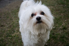Dog. Maltese on the grass Stock Images