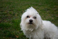 Dog. Maltese on the grass Royalty Free Stock Image