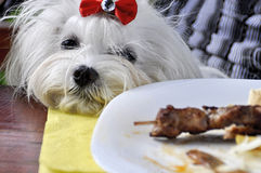 Dog maltese looking at a plate with food Royalty Free Stock Photos