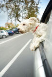 Dog maltese sitting in a car with open window. Small dog maltese sitting in a car with open window Stock Photography
