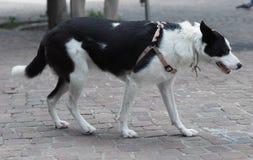 Dog mammal animal. Domestic dog aka Canis lupus familiaris mammal animal Royalty Free Stock Images