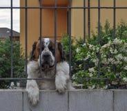 Dog mammal animal. Domestic dog aka Canis lupus familiaris mammal animal behind a fence Stock Image