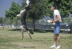 Dog and Man playing Frisbee in Canine Frisbee Contest, Westwood, Los Angeles, CA Stock Images