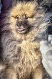 Wolfspitz Keeshond is a very cute, attractive and beautiful dog. The dog - man`s best friend.It`s a loyal animal.Favorite animal in the family stock image