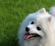 The dog - man's best friend. White dog, the Japanese Spitz Stock Photography