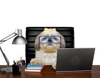 Dog manager in glasses is doing some work on the computer. Isolated on white. Background royalty free stock image