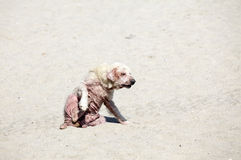 Dog With Mange Disease Royalty Free Stock Photos