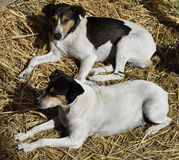 Dog in the manger. Rat catcher andalusian. Two dogs in the manger. Breed rat catcher. Ratonero andaluz stock photo