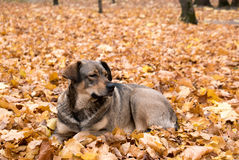 Dog in maple leaves Stock Images
