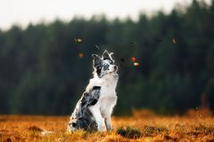 Dog marble border collie outdoors in the forest on day during autumn royalty free stock photos