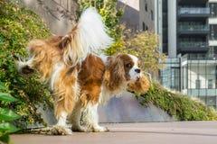 Dog marking territory Stock Images