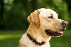 The Dog - Marly -. Photo shows a cute golden retreiver in the park Stock Photos
