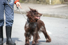 Dog and Master 2. Brown spaniel dog on leash with master standing Royalty Free Stock Images