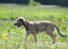Dog on the meadow stock photography