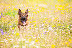 Dog in a meadow. Dog on a meadow in frontal position Royalty Free Stock Image
