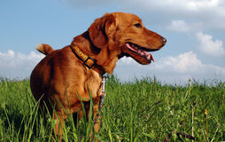 Dog on meadow. Red dog on meadow stock image