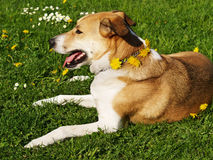 Dog meadow with dandelions (40) Stock Images