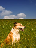 Dog 289 in meadow. Dog 289 in flower meadow royalty free stock photo