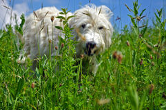 Dog in a meadow Stock Image