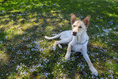 Dog in meadow Royalty Free Stock Photography