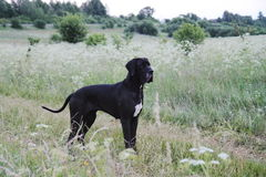 Dog in a meadow. Great dane dog standing in a meadow Stock Photography