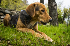Dog a meadow. Hound is ready for action Royalty Free Stock Image