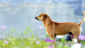Dog in meadow. An medium-sized dog standing in meadow royalty free stock photos