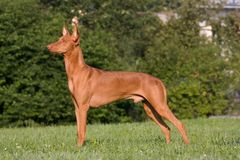 Dog in a meadow - Pharaoh Hound Royalty Free Stock Images