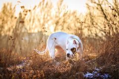Dog in the meadow at sunset. Dogo argentino in the meadow during golden sunset Royalty Free Stock Image